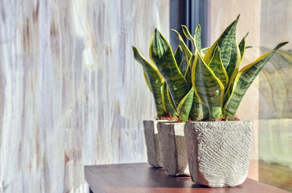 Офисные растения [19659025] Растение Алоэ Вера </h3> <p> Самое простое и красивое растение, которое вы встретите, — это растение Алоэ Вера. Идеальный и полезный компаньон для дома и офиса. Это растение легко выращивать и ухаживать за ним, и оно редко когда-либо доставляло какие-либо проблемы производителям. </p> <p> Растения алоэ вера обладают рядом преимуществ для здоровья, такими как детоксикационный сок, подходящий для кожи и волос, уникальная охлаждающая жидкость для загара и многое другое. подробнее. </p> <h3> Уход: </h3> <p> Растения алоэ вера хорошо себя чувствуют под солнечным светом, поэтому держите его близко к непрямым солнечным лучам и избегайте прямых солнечных лучей. </p> <h3> Внимание: </h3> <ul> <li> Держите почву влажной, поэтому избегайте прямого полива растения. . </li> <li> Используйте почвенную смесь для правильного дренажа. </li> </ul> <h3><img class=
