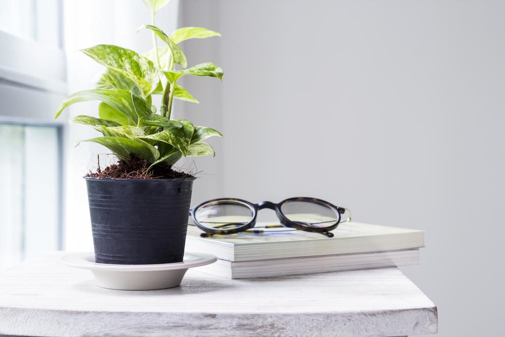 денежное растение для домашнего офиса