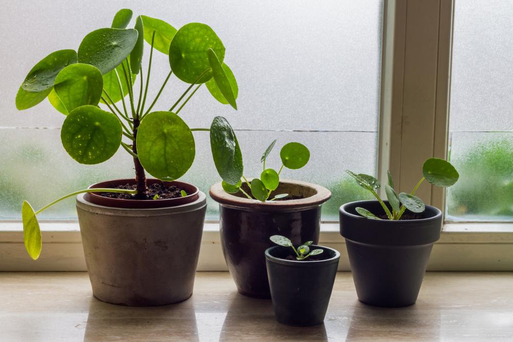 денежные растения васту