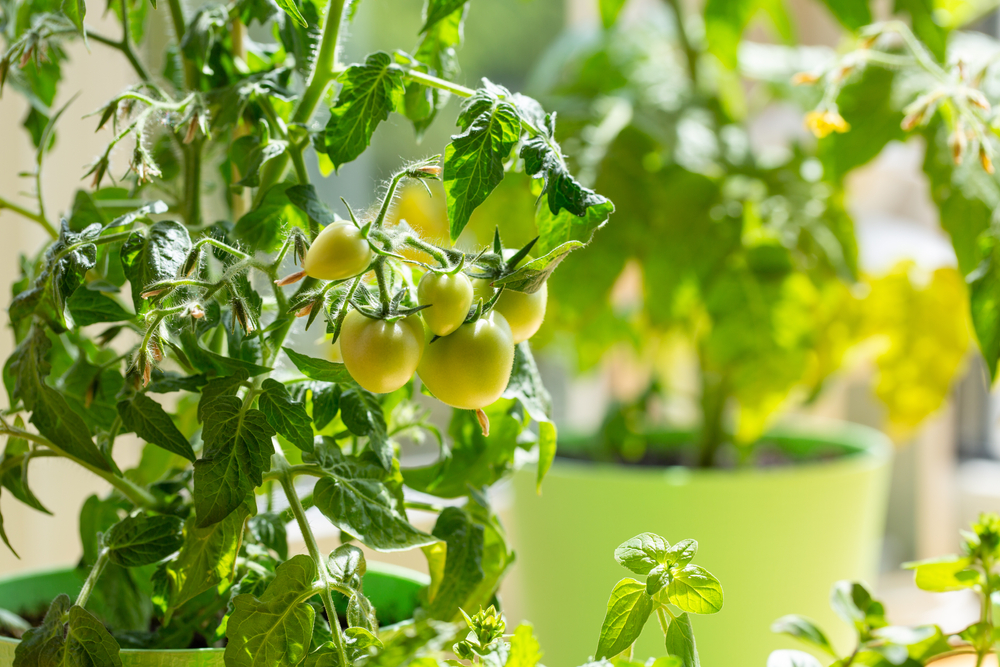 выращивать органические овощи дома