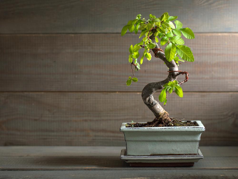 растения бонсай для васту